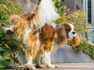 Xanthinuria In Cavalier King Charles Spaniels